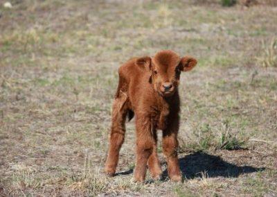 Gorgeous calf