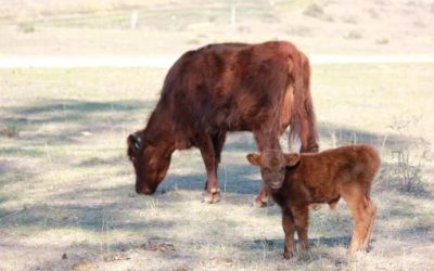 Shadow and her calf